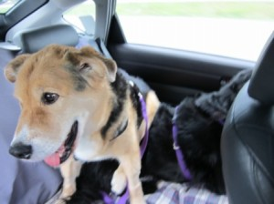 3dogs in car